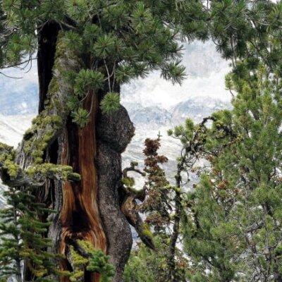 whitebark-pine-trees